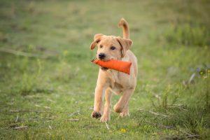 Puppyjachttraining bij DogWork