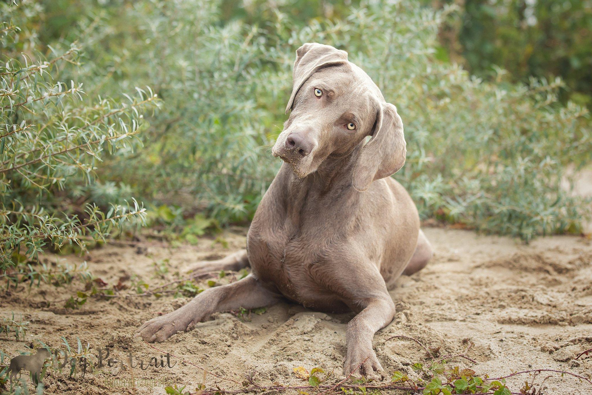 Supermodel of jachthond, of beiden misschien? Weimaraner Sepp in actie